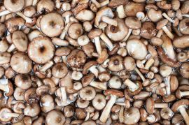 Mushrooms Series: Honey Fungus